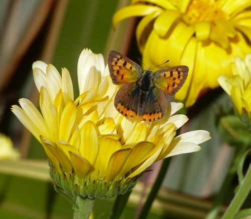 Small Copper butterfly on marigold